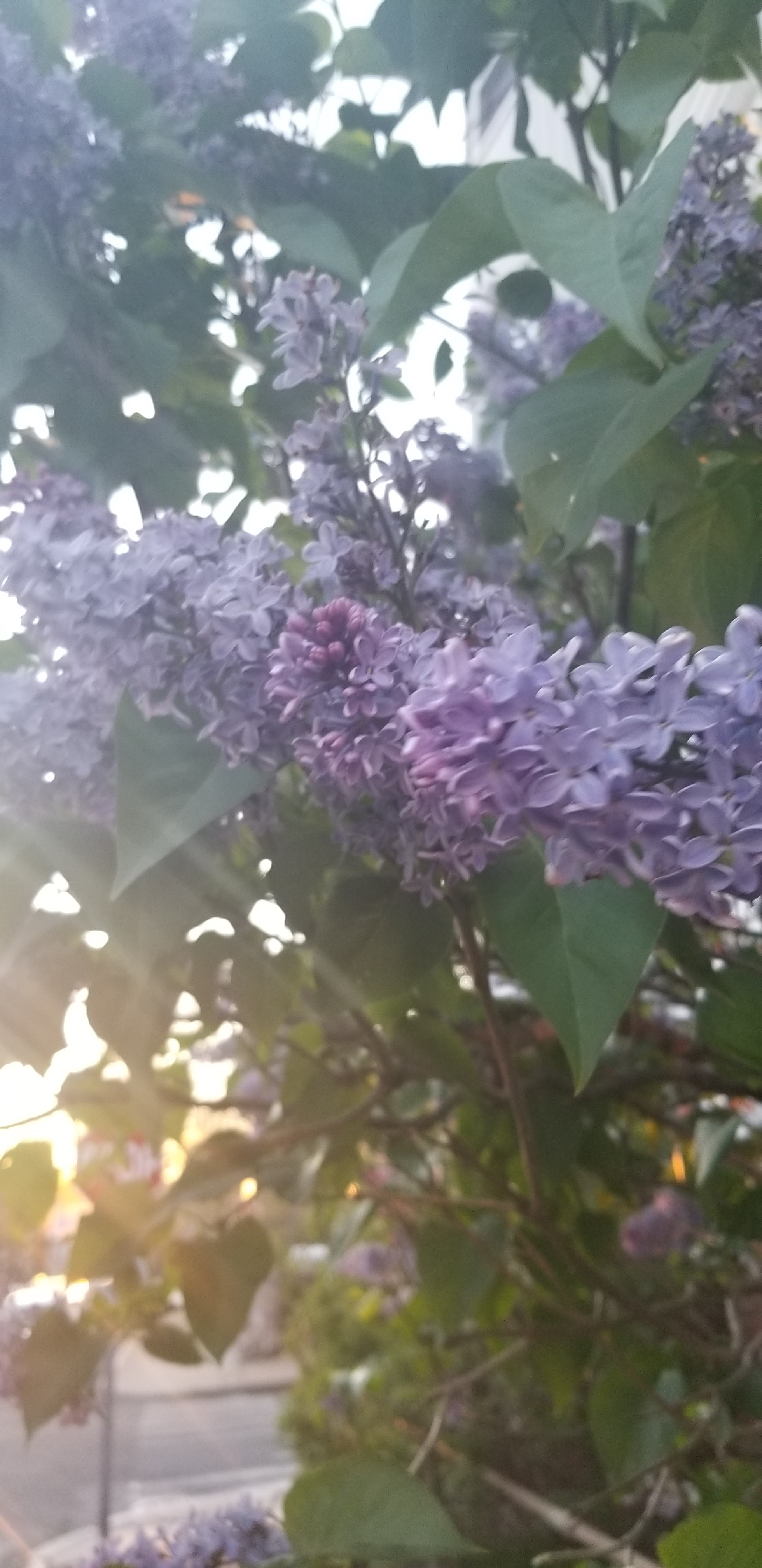 Lilacs in sunset light
